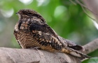 Козодой – птица 2021 года